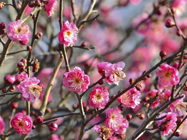 梅の花の特徴3