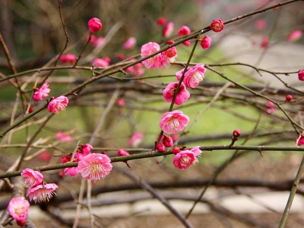 梅の花の特徴4