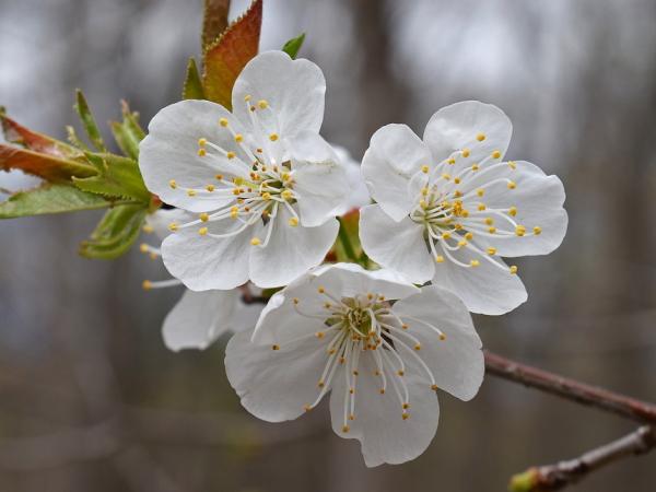 梅の花の特徴2