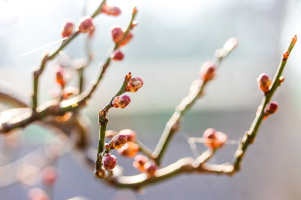 梅の枝の特徴