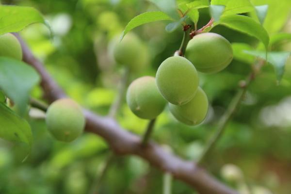 梅の果実の特徴
