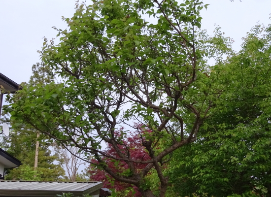 梅の夏の剪定