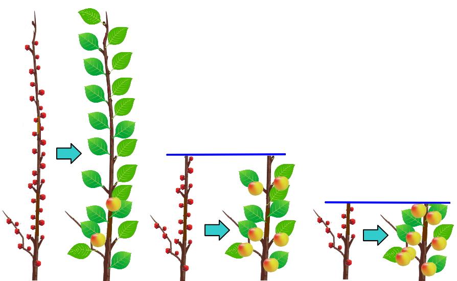果実をなりやすくする梅の剪定方法