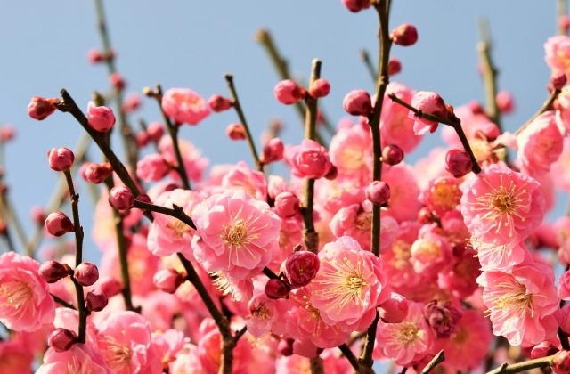 花梅の品種紅梅性八重