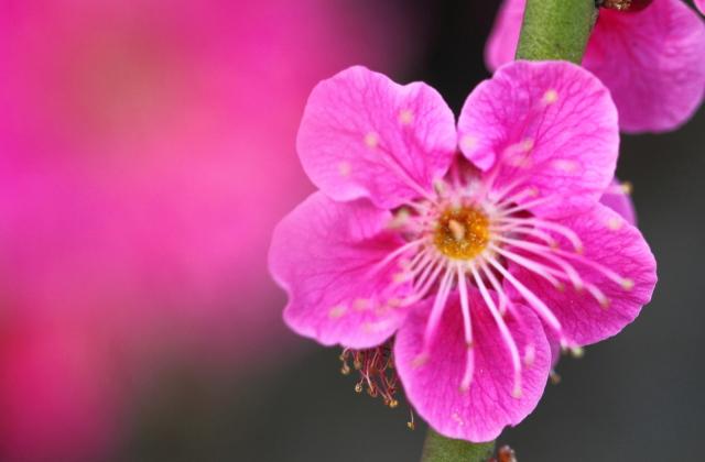 花梅の品種紅梅性一重