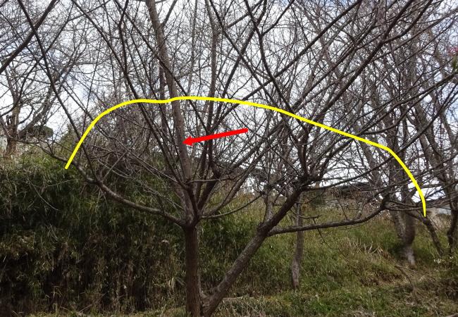梅の徒長枝の強剪定