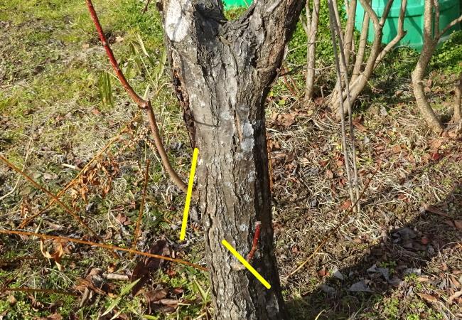 梅の胴ぶき徒長枝の整理