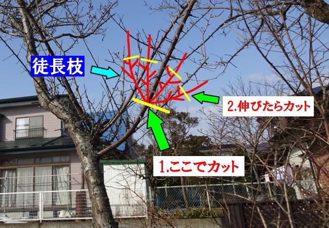 梅の徒長枝の剪定