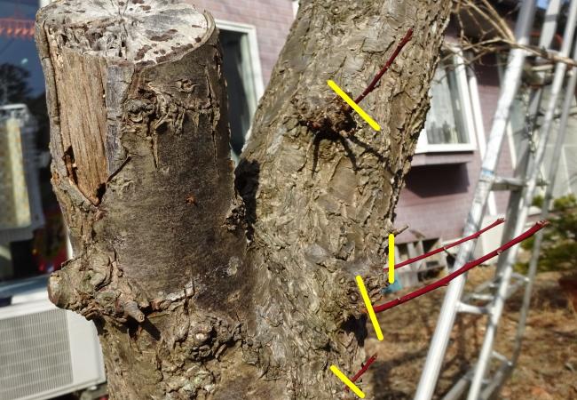 梅の木の徒長枝の整理
