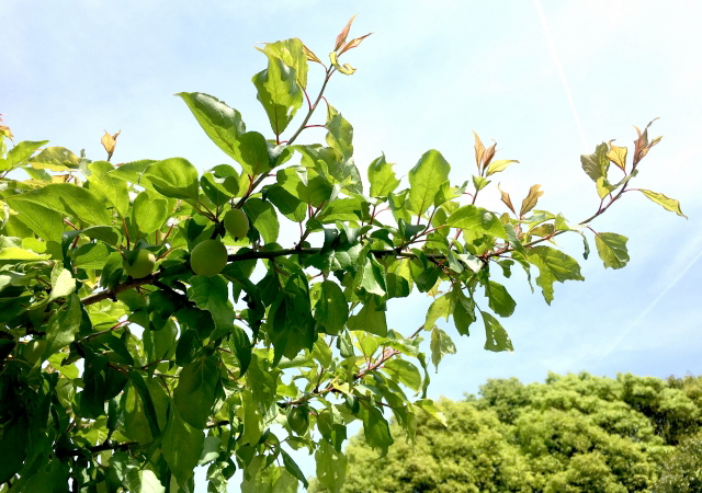 梅の木の徒長枝
