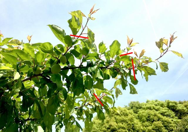 梅の春と夏に行なう剪定