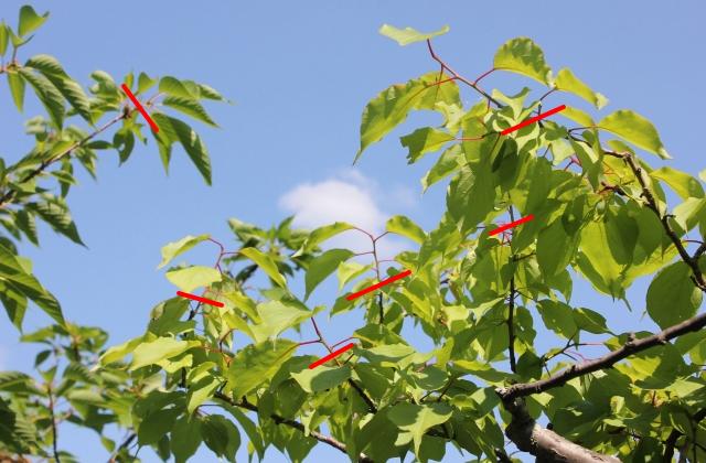 梅の春と夏に行なう剪定徒長枝