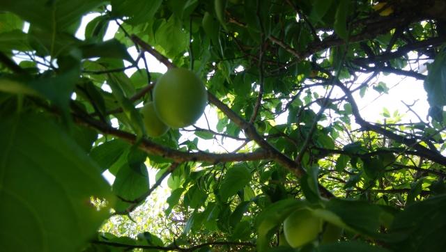 梅の春と夏に行なう剪定樹形内部