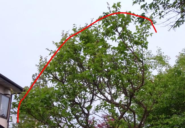 梅の春と夏に行なう剪定輪郭
