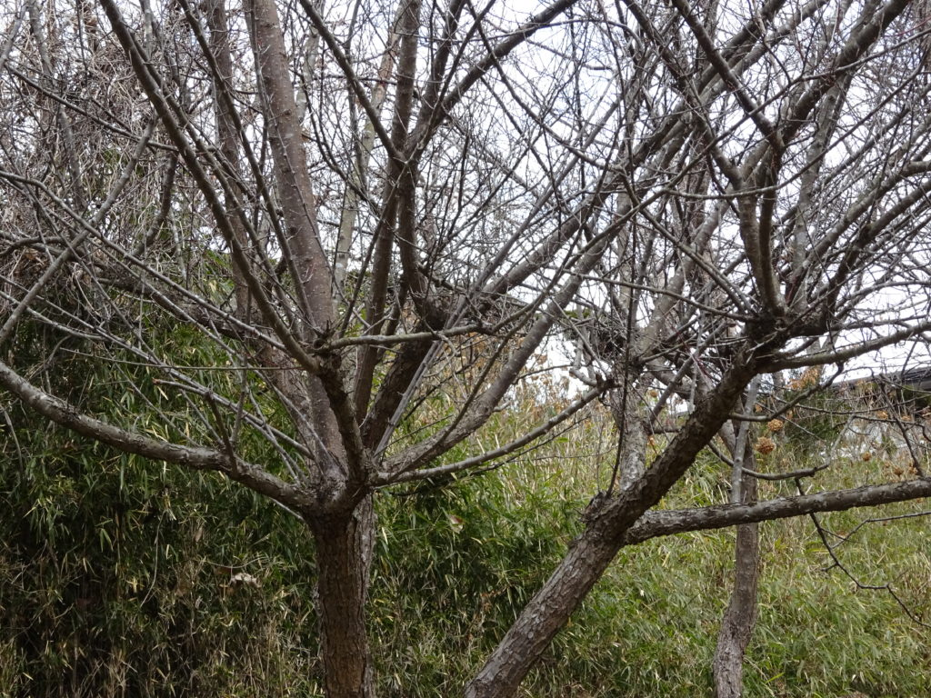 梅の冬の剪定徒長枝