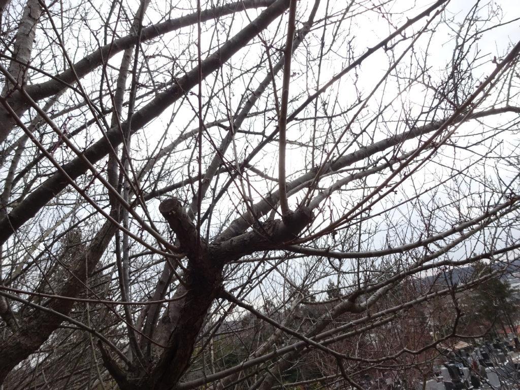 梅の冬の剪定枯れ枝