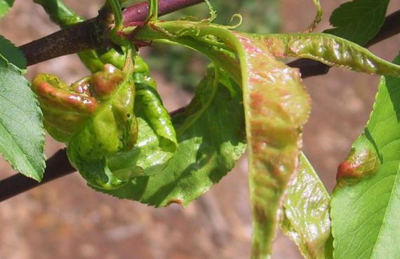 梅の木につく縮葉病