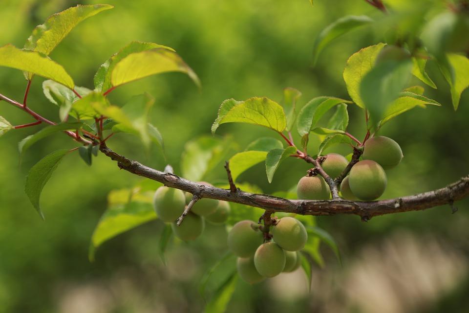 梅はどんな特徴がある木か
