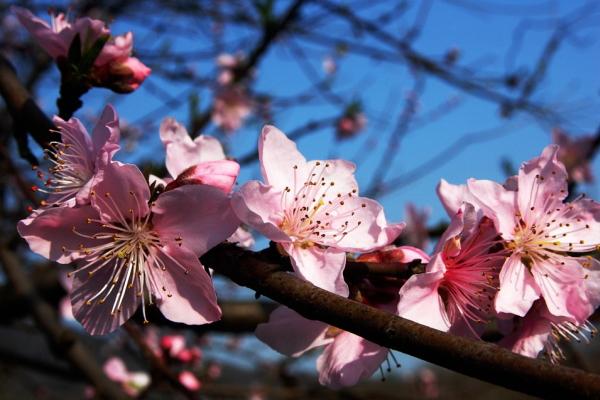 梅の花を咲かせる剪定時期はいつがよいか