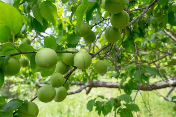 梅の木の基本的な剪定方法