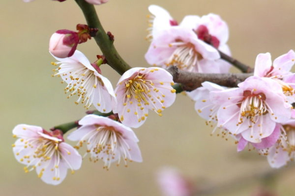 花梅にはどのような品種があるのか