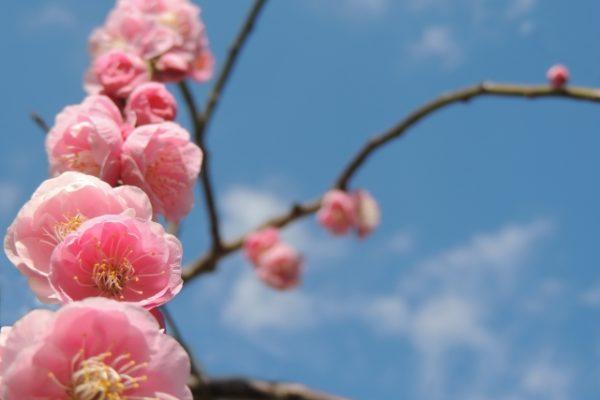 枝垂れ梅の枝が道路に出る!どこを剪定したら花が咲くのか?