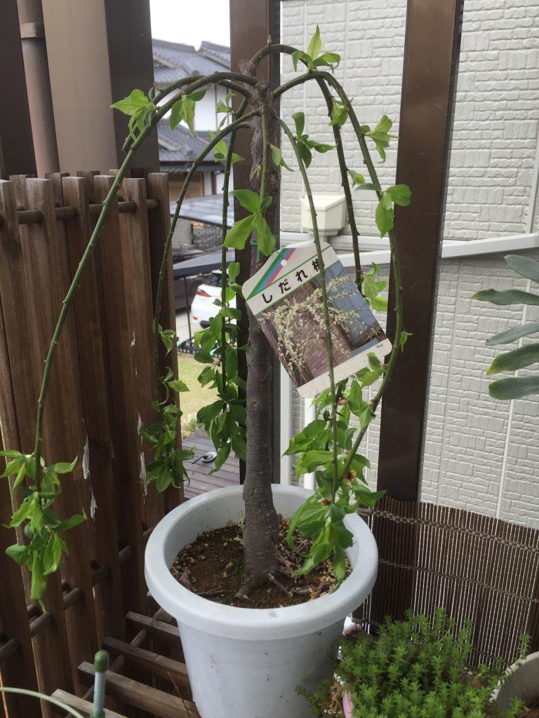鉢植えの枝垂れ梅!花が終ったがいつ剪定したらよいか?