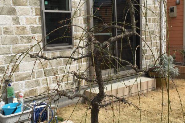 枝垂れ梅はどの枝を切ったらいいかわからない!