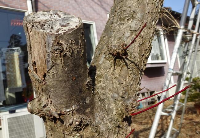 梅の木が枯れる原因と事前の対策