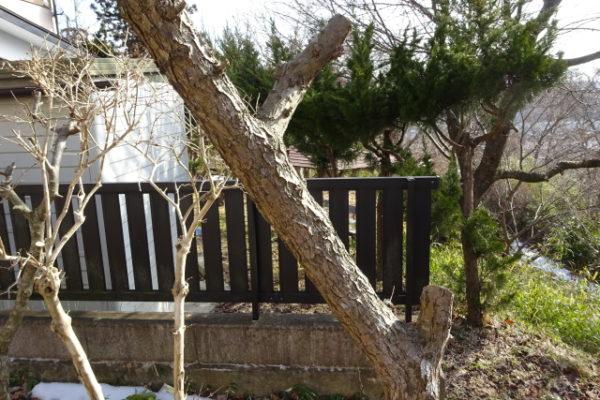 梅の木を切り戻す強剪定の作業方法