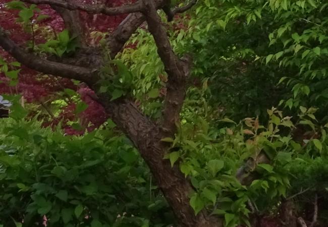 梅の徒長枝を切って整理する方法