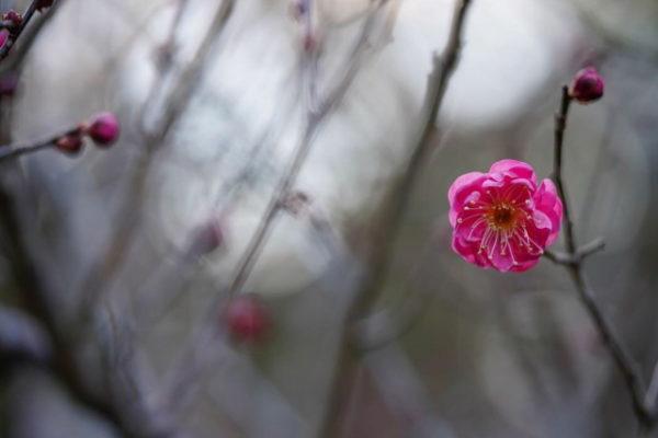 梅の木の樹勢が弱々しく元気がない原因と対処法