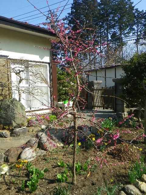 広くない庭で枝垂れ梅の枝をどのように作ったらよいか?
