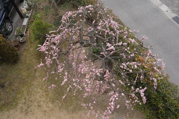 枝垂れ梅の基本の剪定がわからない