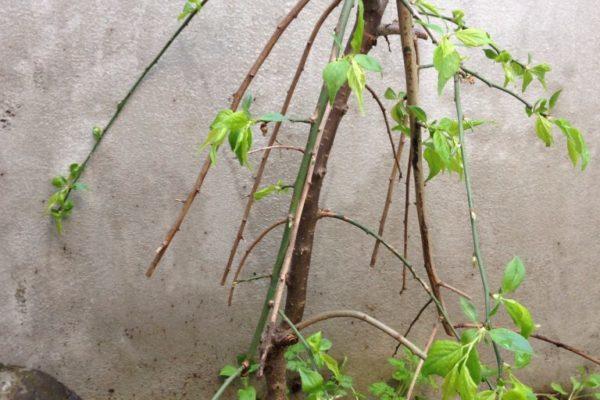 枝垂れ梅の剪定方法が全くわからない!