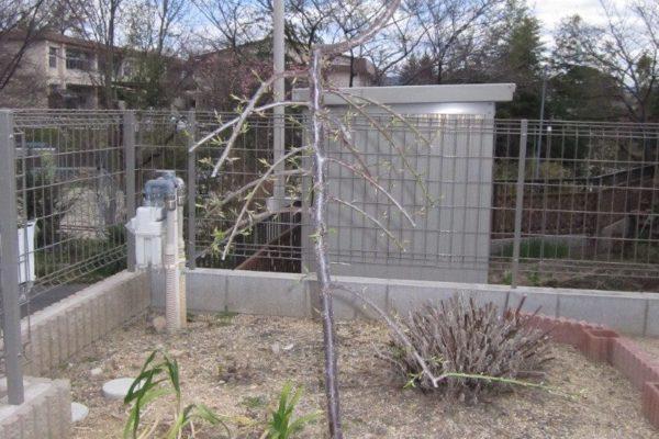 枝垂れ梅の花を楽しむためにどのような剪定をしたらよいか