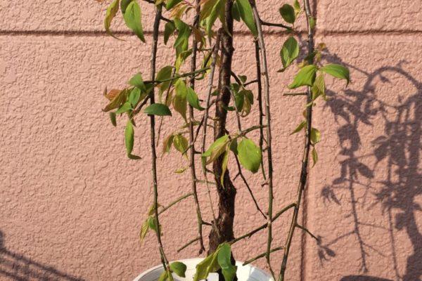 鉢植えの枝垂れ梅はどのように剪定したらよいか