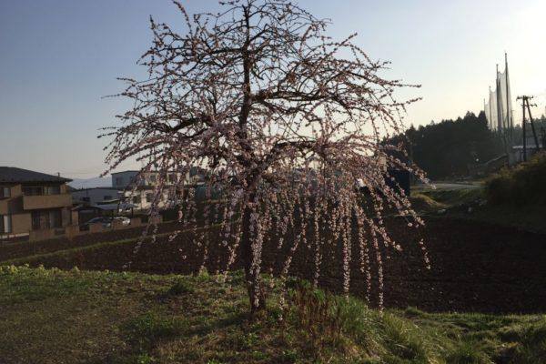 ゴチャゴチャしてる枝垂れ梅!どのように剪定すればまた花が咲くか?