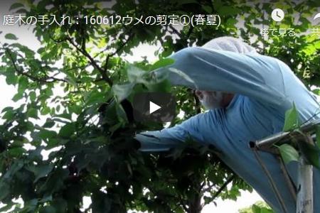 春と夏に行なう梅の木の徒長枝の剪定動画