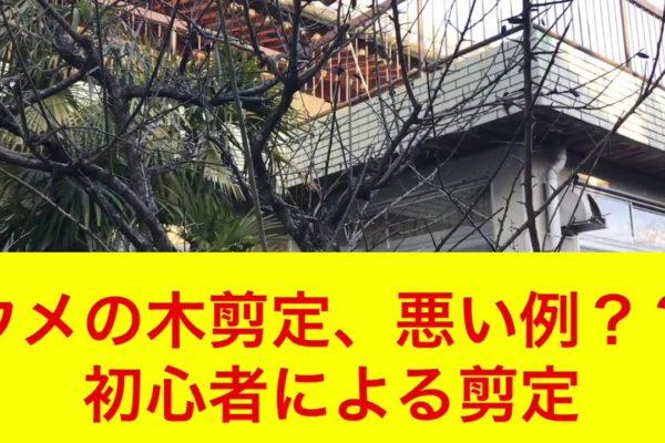 悪い状況の梅の木をどう変えたらよいか?動画で解説