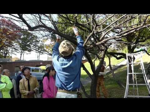 徒長枝が出た場合の梅の木の剪定講習動画