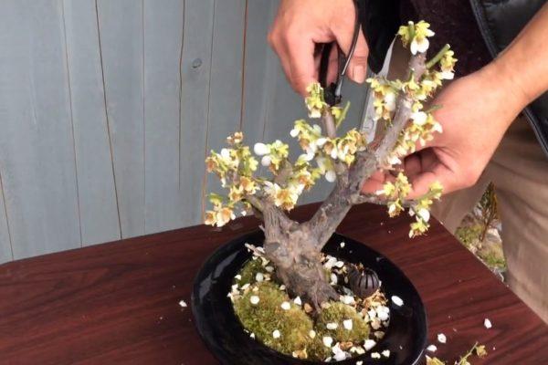 梅の盆栽の花が終わった後の剪定方法!動画解説
