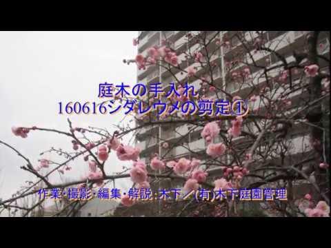 枝垂れ梅の剪定を7月頃に行なう方法を動画解説